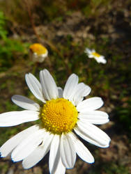 Daisy by 55Martin