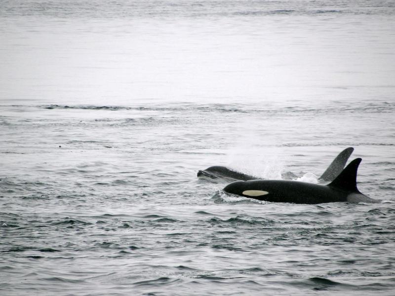 Orcas by soyrwoo