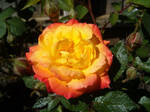 First rose of the season