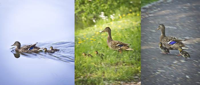 Ducks on tour