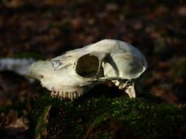 Fallow Skull by Somasemaj
