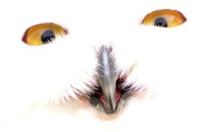 Snowy Owl by Somasemaj