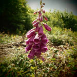 The Bee and the Foxglove