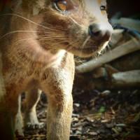 Like a Thylacine by Somasemaj