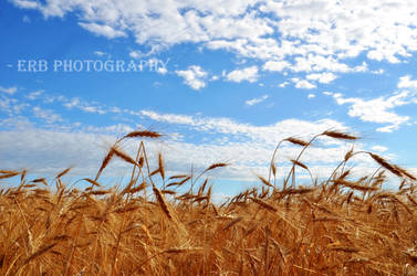 Through The Wheat by erbphotography