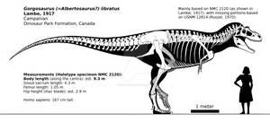 Gorgosaurus libratus skeletal reconstruction.