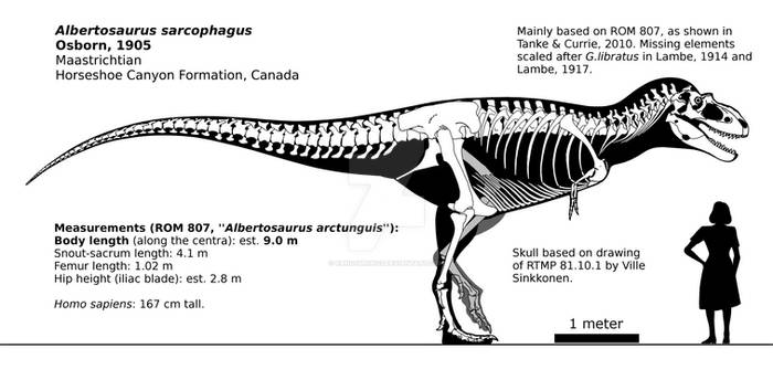 Albertosaurus sarcophagus skeletal reconstruction.