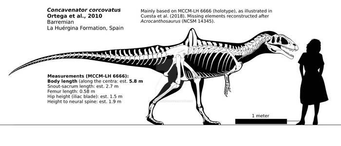 Concavenator corcovatus skeletal reconstruction.