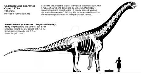 Camarasaurus supremus skeletal reconstruction.