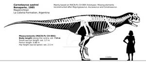 Carnotaurus sastrei skeletal reconstruction.