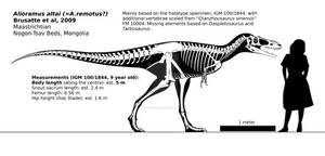 Alioramus altai skeletal reconstruction.