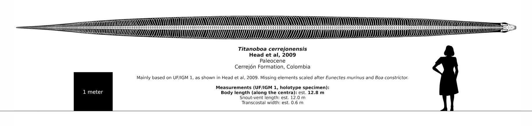Titanoboa cerrejonensis skeletal reconstruction.