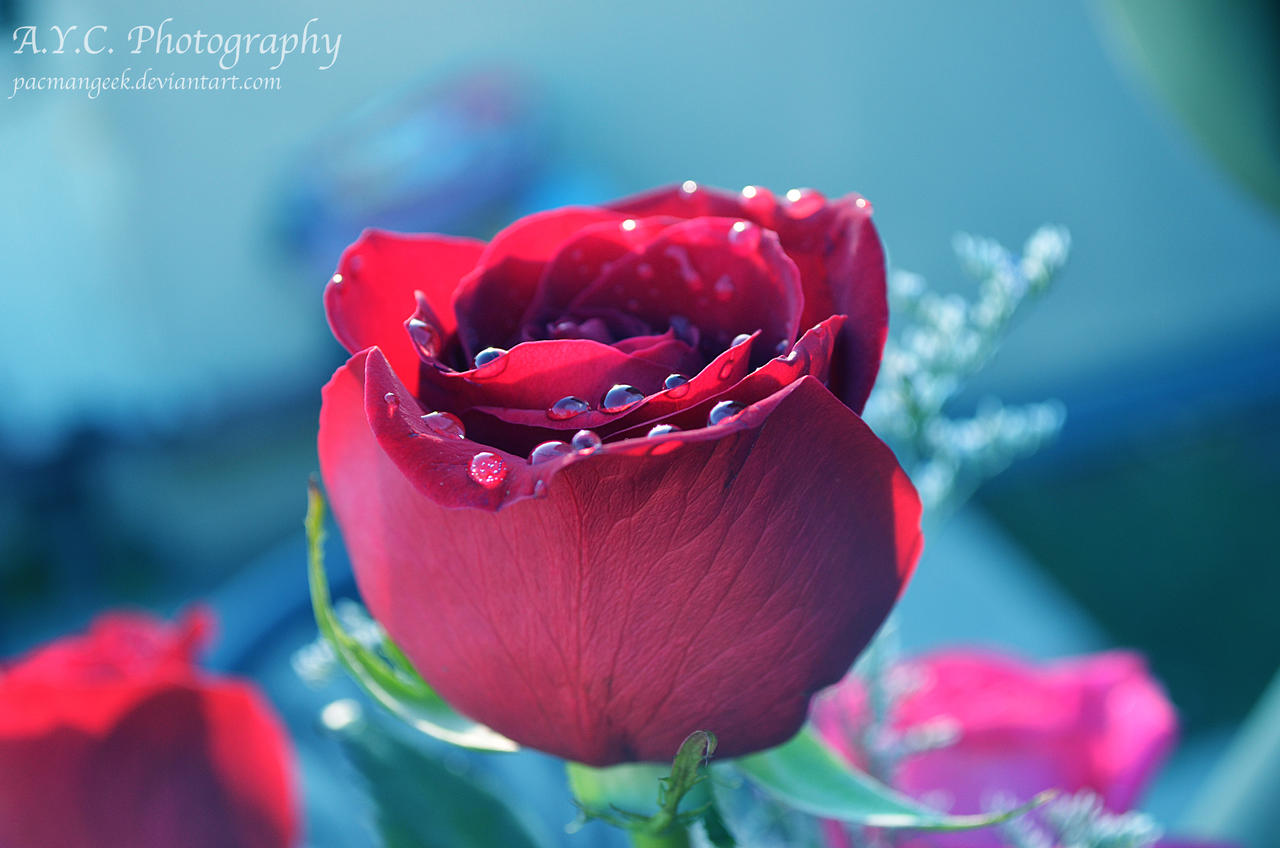 Red Rose by pacmangeek