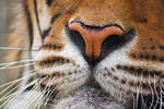 A tiger's nose
