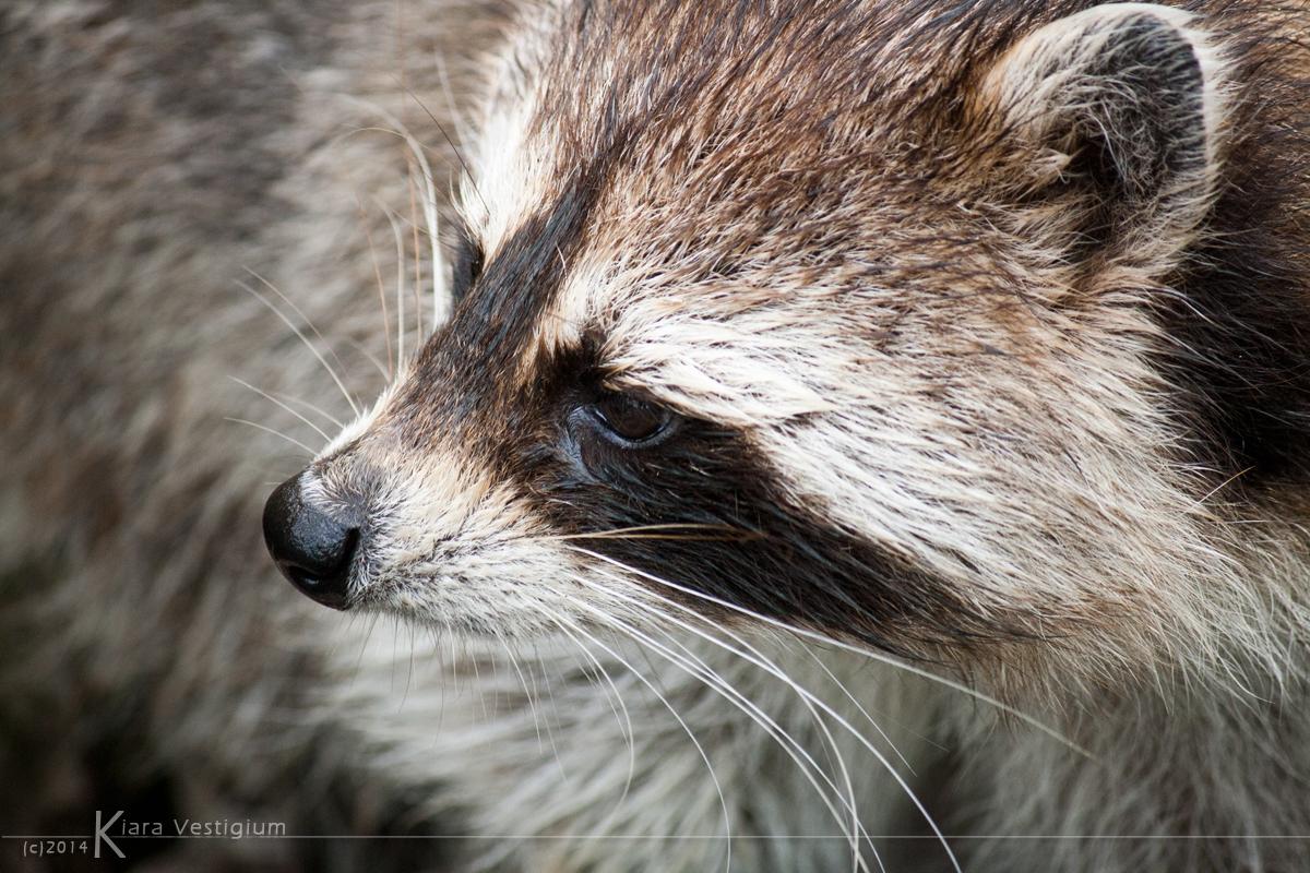 Raccoon I by Kiara-Vestigium