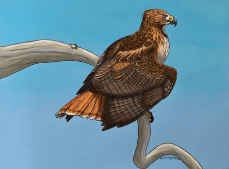 Red-Tailed Hawk Perching- Color Version