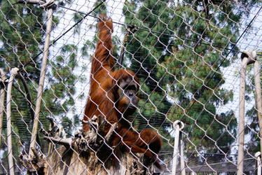 Orangutan by ash-night-k