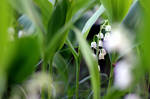 Convallaria majalis (Mughetto/Lily of the valley)