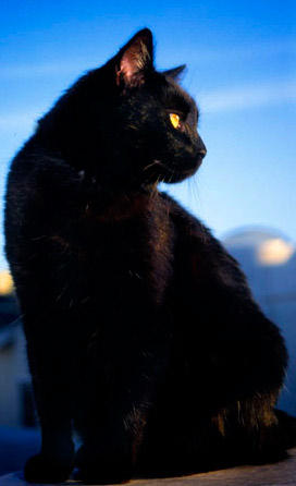 Black_Cat_by_Padfoot121.jpg