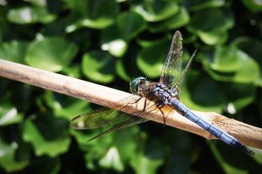 Dragonfly by alyssvisuals