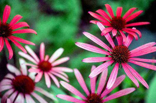 Radial Flowers