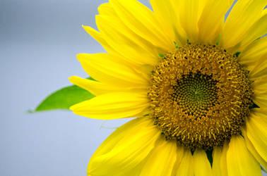 Sunny Flower by alyssvisuals