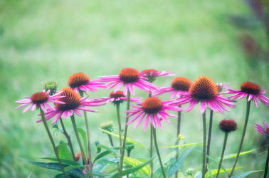 Bunch of Cone Flowers by alyssvisuals