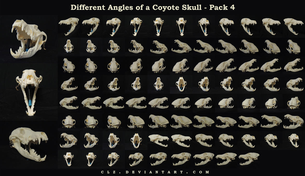 Different Angles of a Coyote Skull Pack 4 by clz