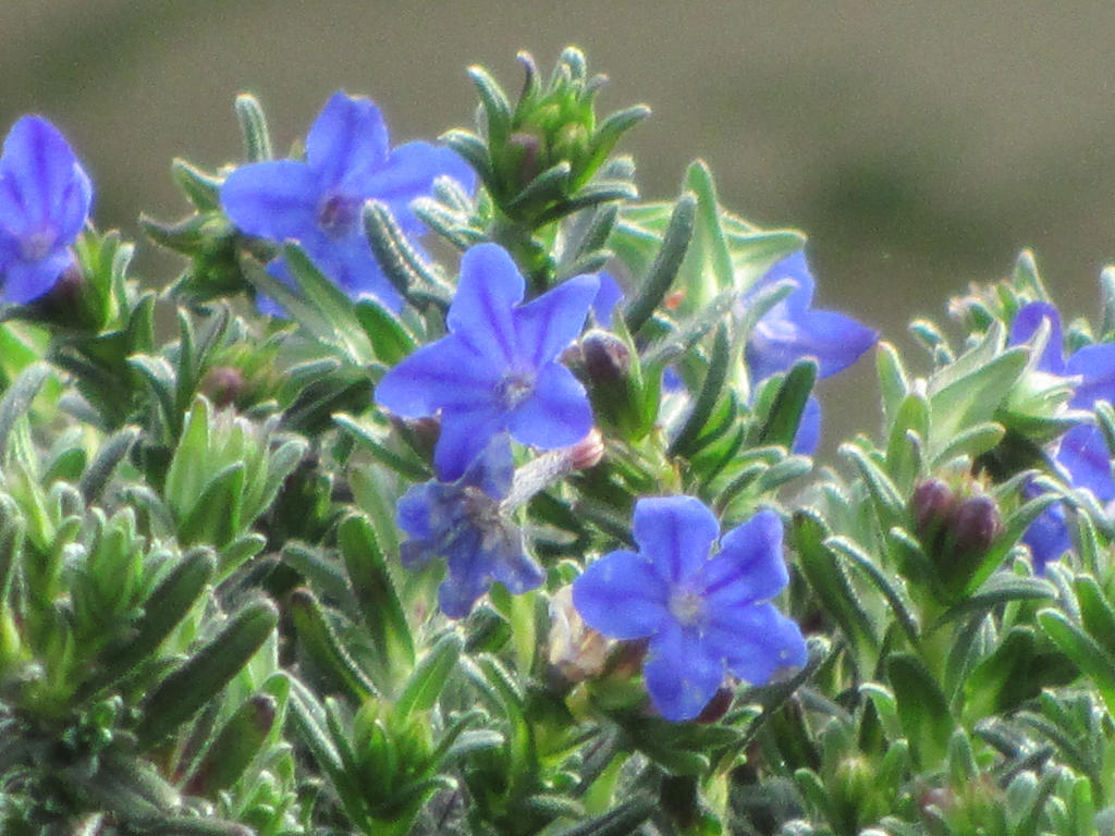 Small blue flowers by sanjouin dacapo on deviantart small blue flowers by sanjouin dacapo izmirmasajfo Gallery