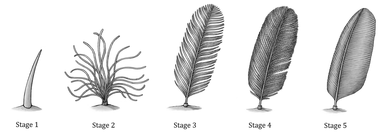 Feather Evolution by EWilloughby on DeviantArt