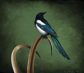 Low-key Magpie by EWilloughby
