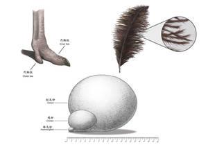 Ostrich Characteristics