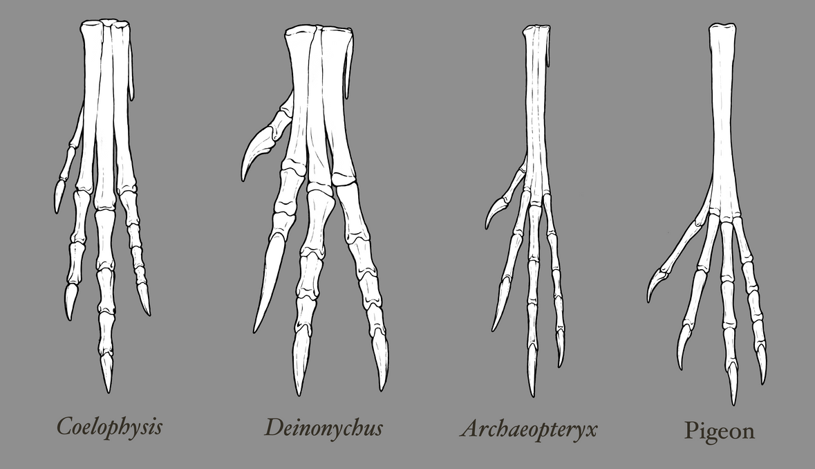 theropod foot comparison by ewilloughby on deviantart