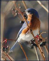 Winter Bluebird by EWilloughby