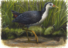 White-breasted Waterhen by EWilloughby