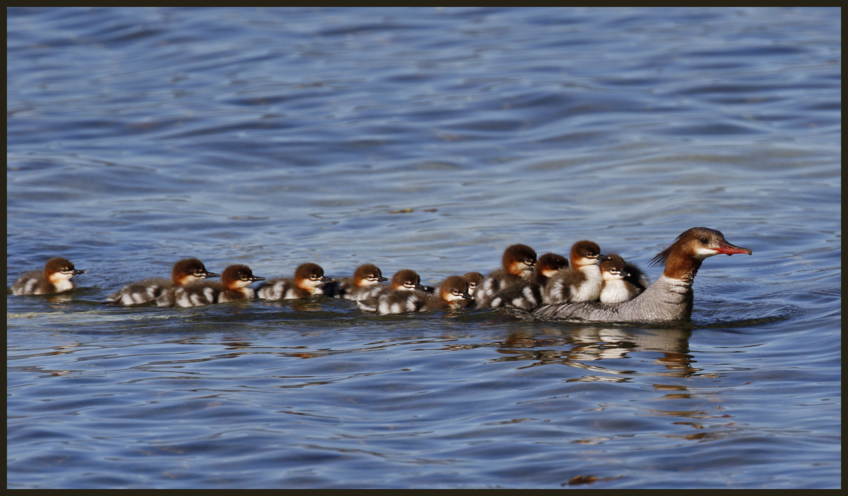 Momma Merganser Manages Merglets by EWilloughby