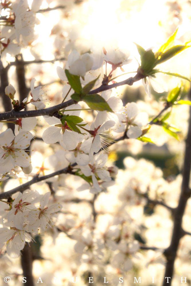 Wild plum In flower by Cloud-Dragonz