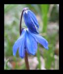 bluebells by yokopoko
