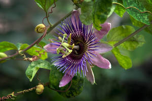 Passiflora Two by sublumenal