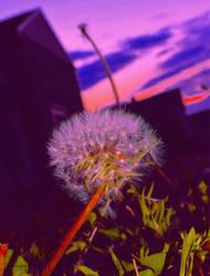 spring dandelion sunset