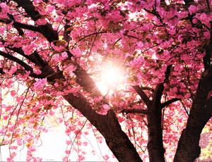 Blossom tree sunshine
