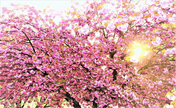 Blossom tree sunlight