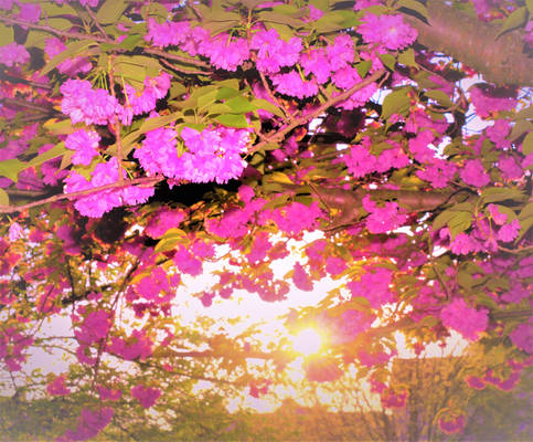 Sunshine through blossom tree