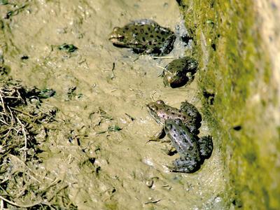 Frogs by batueritenel