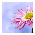 daisy sky