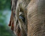 Blue Eyed Elephant by DeniseSoden