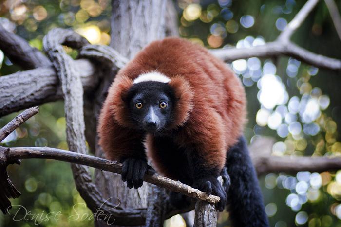Lemur Bokeh by DeniseSoden