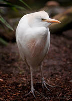 Cattle Egret by DeniseSoden