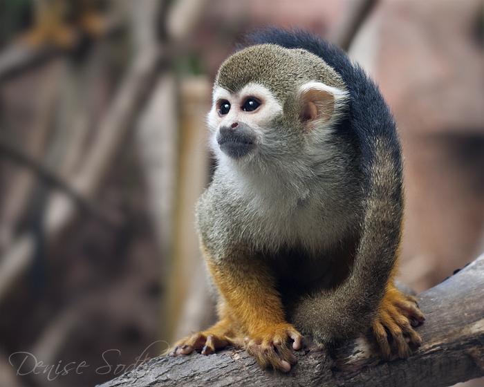 Squirrel Monkey by DeniseSoden