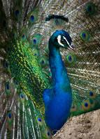 Fan of Feathers by DeniseSoden